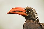Crowned Hornbill (Tockus alboterminatus) male, Kibale National Park, western Uganda