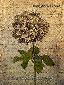 Assaf, FLOWERS, BLUMEN, FLORES, paintings,+Color, Colour Image, Dried, Floral, Flower, Flower Head, Flowers, Handwriting, Hydrangea, Hydrangeas, Leaves, Message, Old Fa+shioned, Photography, Retro, Single Flower, Single Object, Text, Vintage,Color, Colour Image, Dried, Floral, Flower, Flower H+ead, Flowers, Handwriting, Hydrangea, Hydrangeas, Leaves, Message, Old Fashioned, Photography, Retro, Single Flower, Single O+bject, Text, Vintage+,GBAFAF20140730A,#f#, EVERYDAY