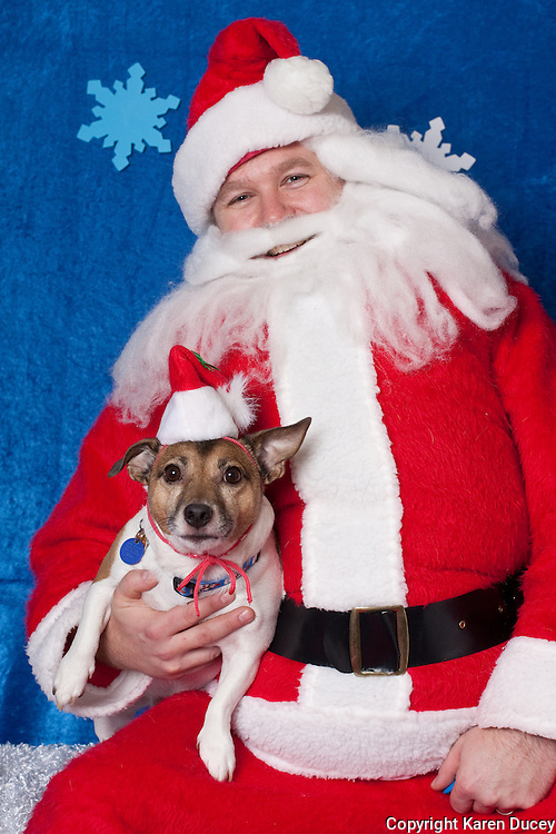 Jack, a jack russell terrier, poses for a holiday photo with Santa at Pet Pros in Redmond, WA to help raise money for Dogs Deserve Better on December 11, 2010. (photo by Karen Ducey)