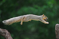 Eastern Fox Squirrel (Sciurus niger), male jumping with pecan in mouth, Fennessey Ranch, Refugio, Coastal Bend, Texas, USA