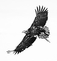 An immature Bald Eagle flies by with a piece of a carcass in its talons.