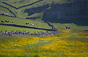 11/06/15<br /> <br /> Wet weather followed by sunshine has turned the Derbyshire Dales into a stunning green and lush paradise. Here, walkers are flanked by acres of buttercups as they make their way into Cressbrook Dale  near Tideswell in the Peak District National Park.<br /> <br /> All Rights Reserved: F Stop Press Ltd. +44(0)1335 418629   www.fstoppress.com.