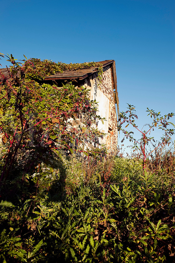 Abandoned shack with pokeweed growing wild.