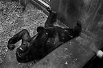 """Tete a Tete""<br /> Chimpanzee Enclosure<br /> Washington DC Zoo<br /> Washington DC<br /> From the ""Captivity"" series<br /> © Thierry Gourjon-Bieltvedt"