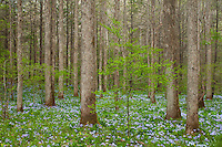 Spring forest and wildflowers, Whiteoak Sink
