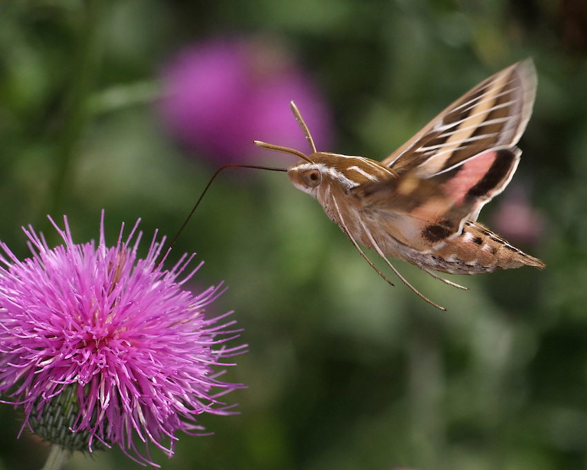 """The Sphinx or """"Hummingbird Moth"""" lets you know when it's near, it has almost the same sound/pitch as an actual hummingbird.<br /> The sound is loudest as it flies, less so at hover."""