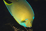 Hybrid Townsend Angelfish, Holacanthus townsendi, As the hybrid cross of the blue angelfish, Holacanthus bermudensis, and the queen angelfish, Holacanthus ciliaris, the hybrid Townsend .