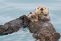 Alaskan or Northern Sea Otter (Enhydra lutris) mom holds pup while they sleep on their backs in a protected cove.  Alaska.