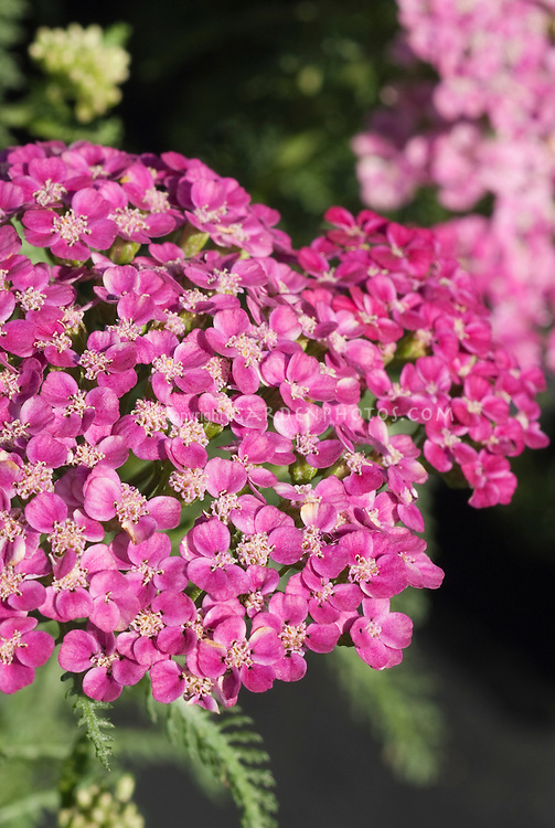 Achillea millefolium Saucy Seduction yarrow in rose pink flowers