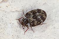 Anthrenus fuscus, Speckkäfer, Dermestidae, skin beetles