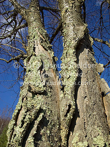 Close up of lichen covered tree trunk<br />