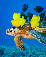 Endangered species, green sea turtle, Chelonia mydas, being cleaned by yellow tang, Zebrasoma flavescens, gold-ring surgeonfish, Ctenochaetus strigosus, endemic species, Kona Coast, Big Island, Hawaii, USA, Pacific Ocean