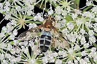 Blaue Breitbandschwebfliege, Blaue Breitband-Schwebfliege, Leucozona glaucia, Ischyrosyrphus glaucius, hoverfly