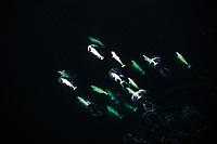 aerial of beluga whales, Delphinapterus leucas, Churchill River, near Hudson Bay, Manitoba, Canada ( Arctic )