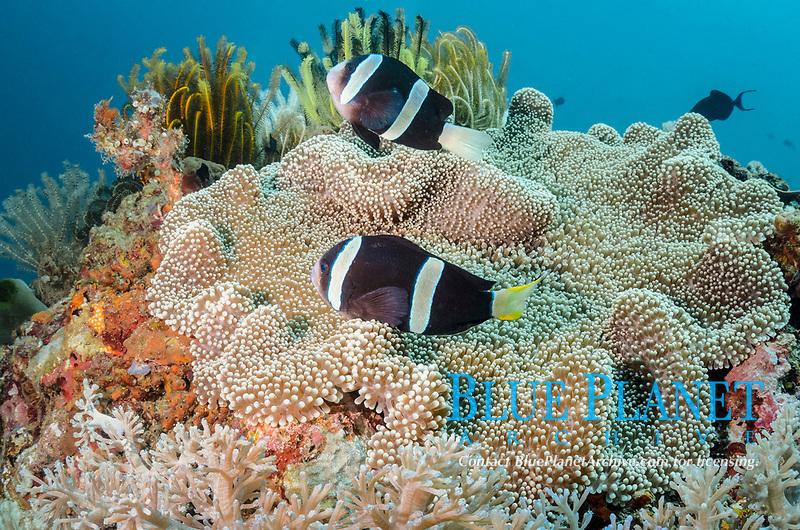 Clark's anemonefish, Amphiprion clarkii, Anilao, Batangas, Philippines, Pacific