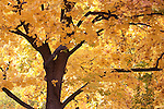 Orange and yellows of a maple tree in autumn