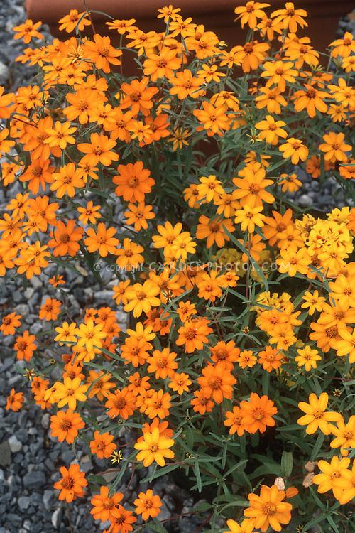 Zinnia angustifolia 'Star Series' annual flowers in orange tones