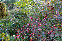 Red rose hips (Rosa vilosa) in border with grasses in Gary Ratway garden