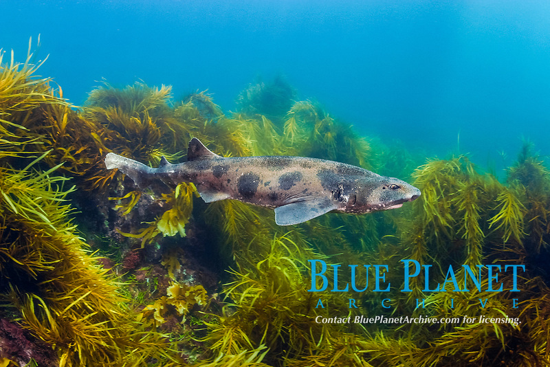 draughtboard shark, Australian swellshark, Cephaloscyllium laticeps, endemic to southern Australia, Port Phillip Island, Victoria, Australia