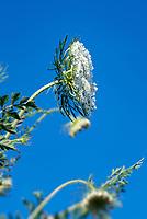 Queen Anne's lace flower, Daucus carota.