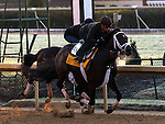 Stay Thirsty, trained by Todd Pletcher and to be ridden by Javier Castellano , exercises in preparation for the 2011 Breeders' Cup at Churchill Downs on.October30, 2011.