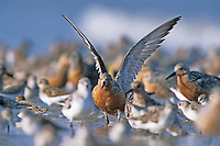 Red Knot, amongst a migratory flock of shorebirds, doing a two wing stretch. Kimble's Beach, New Jersey