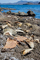 Discarded heads of Pacific Ocean sharpnose sharks, Rhizoprionodon longurio, smooth hammerhead sharks, Sphyrna zygaena, numerous guitarfishes and a filleted butterfly ray. Mulege, Sea of Cortez, Mexico.