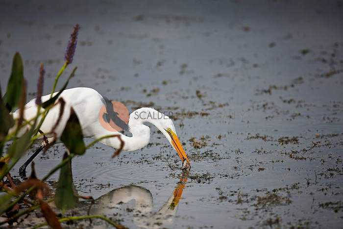 Great Egret standing in the water in Florida catching a frog