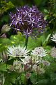 Astrantia major 'Alba' and Allium christophii, Great Dixter, early June.