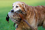 Pix: Shaun Flannery/sf-pictures.com..COPYRIGHT PICTURE>>SHAUN FLANNERY>01302-570814>>07778315553>>..19th December 2008...............Loversall 'game shoot' in Doncaster, South Yorkshire..A Golden Retriever with shot Pheasant.