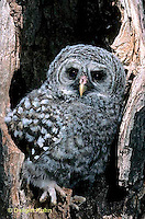 OW01-112b  Barred Owl - young in nest caviity - Strix varia