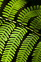 Detail of Tree Fern frond {Cyatheaceae} growing in rainforest. Andasibe-Mantadia National Park, Eastern Madagascar.