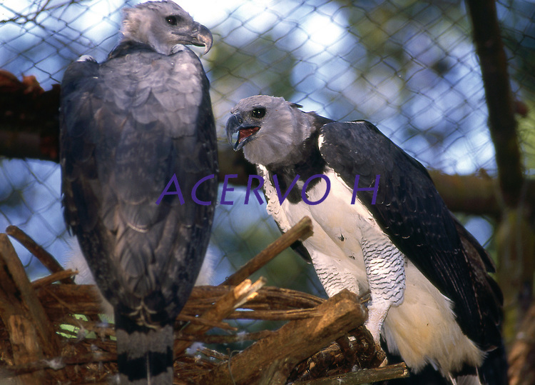 O Gavião-real é uma ave accipitriforme da família Accipitridae. É conhecido também como Gavião-de-penacho, Guiraçu (uirá, guirá = ave, açu = grande), Hárpia e Uiraçu.<br /> Embora não seja a maior das aves predadoras do planeta, é tida como a mais forte. Possui bico potente e suas guarras são maiores que as do urso pardo americano, suas pernas tem a grossura de um punho de um homem adulto.<br /> Tem um crescimento populacional muito lento. Este fato, associado à destruição de grandes áreas florestais e à caça indiscriminada, torna a espécie ameaçada de extinção em nosso País. <br /> <br /> Carajás, Pará, Brasil<br /> Foto Paulo Santos