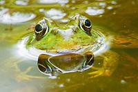 Green Frog Lithobates clamitans or Rana clamitans Nova Scotia, Canada