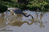0126-08ss  Tricolored Heron Hunting for Prey Striking Water, Louisiana heron, Egretta tricolor [See Sequence of Images, 0126-08ss, 0126-08tt, 0126-08uu, 0126-08vv]  © David Kuhn/Dwight Kuhn Photography