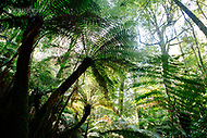 Image Ref: YR179<br /> Location: Wirrawilla Rainforest, Toolangi<br /> Date: 27.01.18
