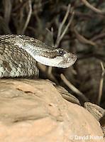 0419-1004  Southern Pacific Rattlesnake (Black Diamond Rattlesnake, Pacific Rattler), Southwest California, Crotalus oreganus helleri (syn. Crotalus viridis helleri)  © David Kuhn/Dwight Kuhn Photography.