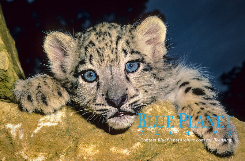 Snow Leopard (Panthera uncia), 10 week old cub