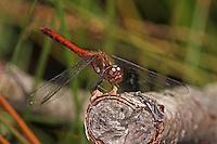 Große Heidelibelle, Männchen, Sympetrum striolatum, Common Darter, male