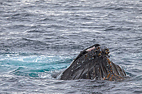 humpback whale, Megaptera novaeangliae, lunge-feeding on krill near the Antarctic Peninsula, Antarctica, Southern Ocean