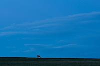 Single sheep on farmland on Otago Peninsula at night, Coastal Otago, East Coast, New Zealand