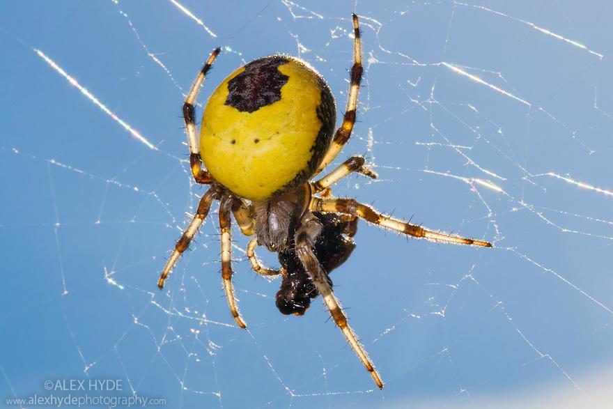 Marbled Orb-weaver Spider female {Araneus marmoreus var. pyramidatus} with insect prey in web. Woodwalton Fen National Nature Reserve, Cambridgeshire, UK.