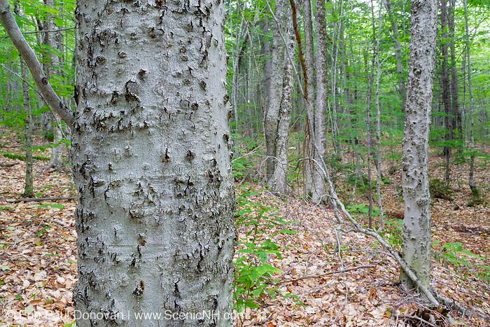 Beech bark disease on American beech tree (fagus grandifolia) near Potash Mountain in the White Mountains, New Hampshire USA.