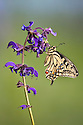 Common Swallowtail butterfly {Papilio machaon} feeding on Meadow Clary {Salvia pratensis} flowers. Nordtirol, Tirol, Austrian Alps, Austria, 1700 metres altitude, July.