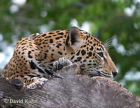 0522-1102  Goldman's Jaguar, Belize, Panthera onca goldmani  © David Kuhn/Dwight Kuhn Photography