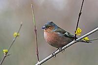 Buchfink, Männchen, Buch-Fink, Fringilla coelebs, Chaffinch, male, Pinson des arbres