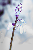 Kingston upon Thames, England. Frosty, snowy day. Bluebells with snow and ice.