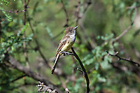 Dusky-capped Flycatcher, Patagonia Lake State Park, Arizona