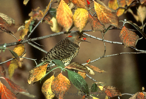 """""""Northern Flicker Bird"""" Eating Dogwood berries in Autumn, Midwest"""