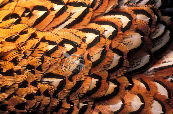 Ring-necked Pheasant chest feather details. (Phasianus colchicus).